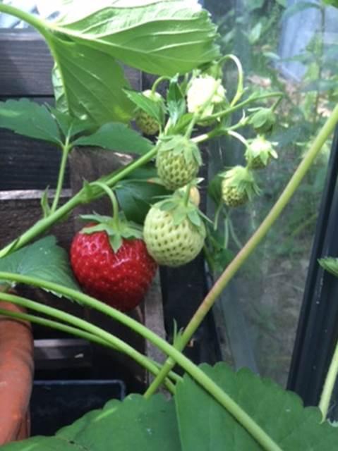 Modne jordbær