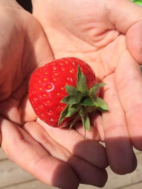 Første røde jordbær